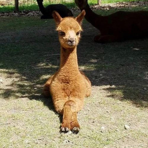 The Farm Yard Llama Project